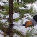 Taglio dell'albero di Natale immagini stock libere da diritti