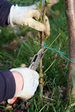Taglio dell'albero di pesca Immagini Stock Libere da Diritti