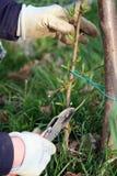Taglio dell'albero di pesca Fotografia Stock