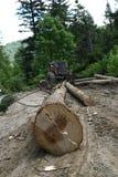 Taglio dell'albero nella foresta fotografie stock libere da diritti