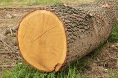 Taglio dell'estremità di un albero Fotografia Stock Libera da Diritti