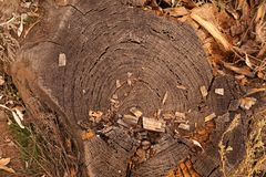 Taglio dell'incrocio di vecchio albero Immagine Stock