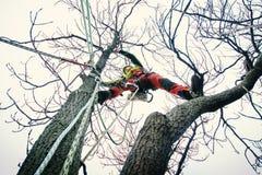 Taglio dell'uomo dell'arboricoltore rami con la motosega ed il tiro su una terra Il lavoratore con il casco che lavora all'altezz fotografia stock