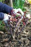 Taglio della pianta della Rosa Fotografia Stock Libera da Diritti