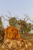 Taglio dello sradicamento di alberi. Immagini Stock