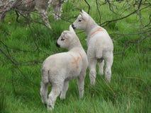 Taglio di agnello Fotografie Stock