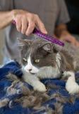 Taglio di capelli domestico del gattino Fotografia Stock