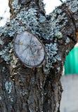 Taglio di ramo e del lichene sulla corteccia di un albero da frutto immagine stock libera da diritti