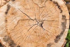 Taglio di sezione trasversale del tronco di albero fotografie stock