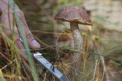 Taglio nella foresta - vista alta vicina del fungo della mano con il coltello ed il grande boletus Immagine Stock