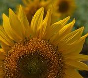 2006 tagna blomma för juni för stadsblommagreen solros för fotografi berg Fotografering för Bildbyråer