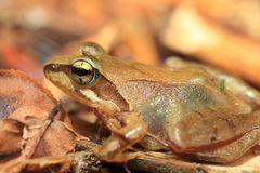 Tago's Brown Frog Royalty Free Stock Image