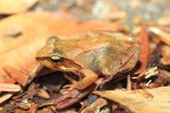 Tago's Brown Frog Stock Image