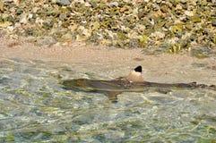 Tahaa, french polynesia. Blacktip shark at lagoon of tahaa, french polynesia royalty free stock photography