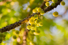 Tahitian gooseberry Stock Photo