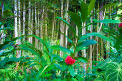 Tahitian red ginger plant Stock Photo