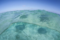 Tahitian Stingray in French Polynesia Stock Images