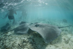 Tahitian Stingrays Royalty Free Stock Images
