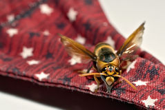 Tahitian Wasp. Wasp from Tahiti, shot against a red bandana with white and blue stars Royalty Free Stock Image