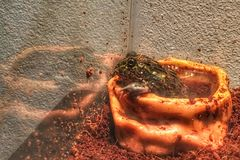 Tahm the giant African Pyxie Bullfrog royalty free stock images