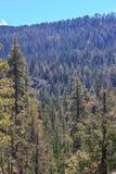 Tahoe地区森林 免版税库存图片