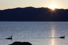 Tahoe Ducks stock image
