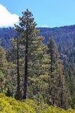 Tahoe terenu las Zdjęcie Stock