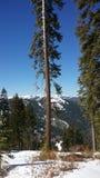 Tahoe träd Fotografering för Bildbyråer