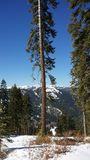 Tahoebomen stock afbeelding