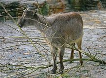 Tahr 1. Portrait of Nice Himalayan Tahr Royalty Free Stock Images