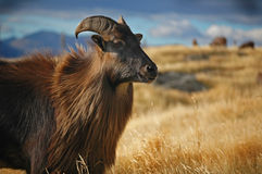 Tahr Royalty Free Stock Photos