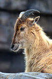 Tahr Royalty Free Stock Photography