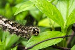 Tahun di Caterpillar Fotografia Stock