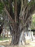 Tai Ο δέντρο Στοκ φωτογραφία με δικαίωμα ελεύθερης χρήσης