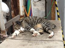 Tai-nolla-katt Arkivbilder
