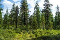 Taiga, δέντρα στην κλίση Στοκ φωτογραφίες με δικαίωμα ελεύθερης χρήσης
