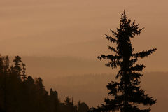 Taiga. A single conifer tree in mountains Stock Image