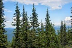 Taiga alpino pittoresco del cedro Fotografia Stock
