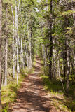 Taiga boreal forest summer trail aspen trees Stock Images