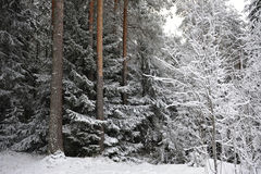 Taiga in early winter Royalty Free Stock Images