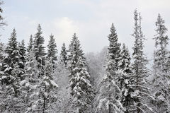 Taiga in early winter Royalty Free Stock Photos