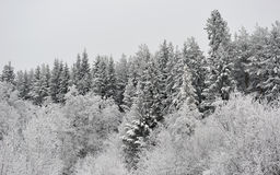 Taiga in early winter Stock Photo