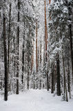 Taiga in early winter Royalty Free Stock Photo