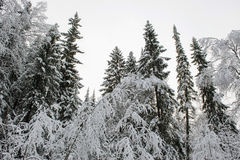 Taiga in early winter Royalty Free Stock Photography