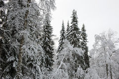 Taiga in early winter Royalty Free Stock Image