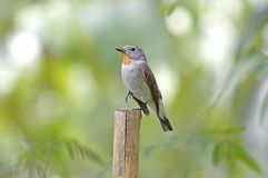 Taiga Flycatcher Ficedula albicilla Beautiful Male Birds of Thailand. Taiga Flycatcher Ficedula albicilla Beautiful Male Bird of Thailand Stock Images