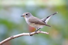 Taiga Flycatcher Ficedula albicilla Cute Birds of Thailand. Taiga Flycatcher Ficedula albicilla Cute Bird of Thailand Royalty Free Stock Photo