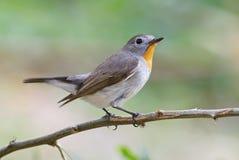 Taiga Flycatcher Ficedula parva Male Cute Birds of Thailand Stock Images