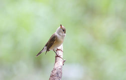 Taiga Flycatcher Red Throted Flycatcher Royalty Free Stock Image