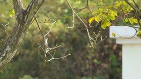 Taiga flycatcher on the tree. Footage of Taiga flycatcher is standing on the tree branch and flying away stock video